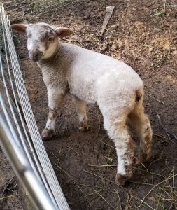 Jessica in her pen. No knitting from her fleece. She's not a fiber animal.